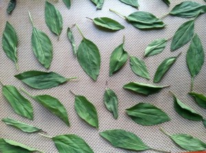 drying thai basil